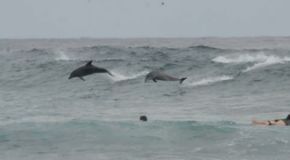 Dolphin Gone Surfing