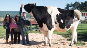 The World's Tallest Cow