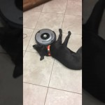 This Lazy Dog Doesn't Care About The Roomba