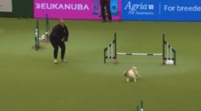 Hilarious Jack Russell Goes Crazy With Excitement At Crufts 2017!