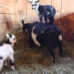 Goats Millie and Charley are Parkour Masters