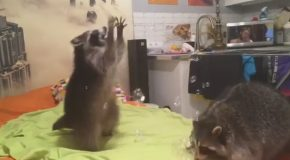 Raccoon Plays With Bubbles