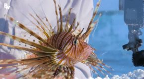 Coyote Peterson gets stung by a lion fish