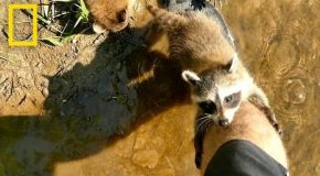 Adorable Raccoon Babies Make Human Friend