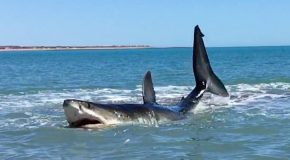 Large And Injured Great White Shark In Just 3 Feet Of Water