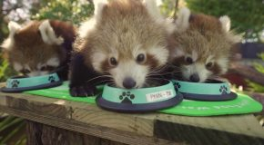 Red Panda Cub Triplets feeding is the cutest thing ever