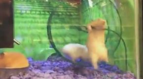 Hyper Hamster Loses His Footing On Exercise Wheel