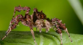 Spider With Three Super Powers – The Hunt – BBC Earth