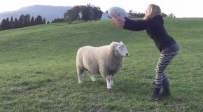 A Playful Sheep With Excellent Coordination