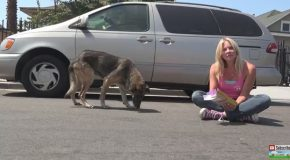 A Stray German Shepherd Out From Under A Parked Minivan With Food