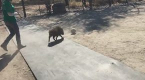 Bush Pig Loves Soccer