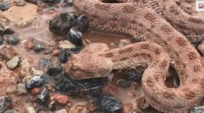 Deadly Viper Given Lifeline By Rescuers
