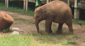 Baby Elephant Trying to Figure Out How to Wear Sandals