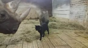 Cat Playing With Rhino
