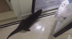 Hungry Otter Opens the Fridge