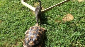 Fast Moving Tortoise Persistently Chases an Elusive Cat