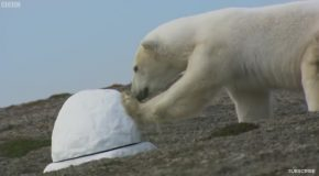 Polar Bear Destroys Spy Cam – Polar Bear Spy On The Ice – BBC Earth