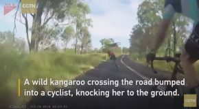 Kangaroo Crashes Into Cyclist In Queensland