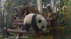 Pandas – Official Trailer