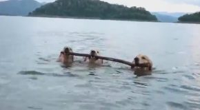 Three Dogs Walk Alongside Each Other in Shallow Water