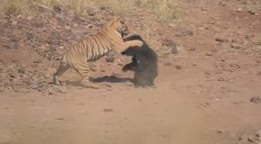 Tiger And A Sloth Bear Get Into An Epic Fight