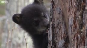 Funny Black Bear Cubs First Attempts to Conquer Treetops