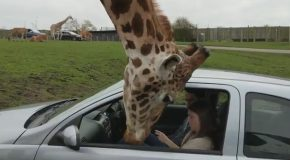 Giraffe's Head Gets Trapped Inside a Car Window!