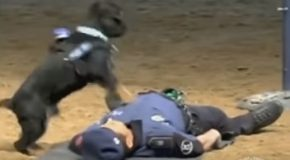 Adorable Police Dog In Training Practices His CPR Training