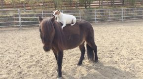 Adorable Footage Of Dog Riding A Horse