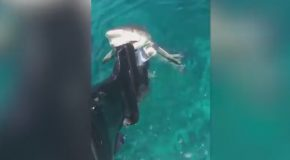 Cute Smiling Lemon Shark Bites Boat's Motor