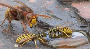 Hornet Vs Wasp, a Fight to The Death