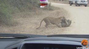 Leopard Death Battle in the Road!