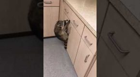 Raccoons Infiltrate Kitchen