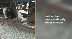 Bull Miraculously Survives Getting Run Over by Train