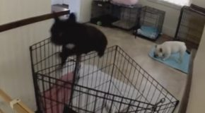 Funny and Cute French Bulldog Escapes From Kitchen