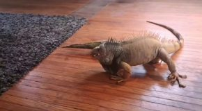 Iguana Tussles With Toy!