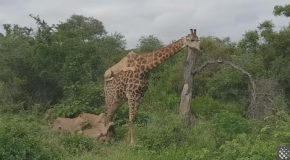 Lions Climb On Top Of Giraffe to Bring it Down