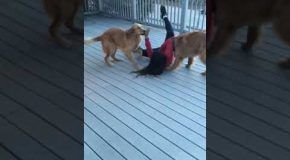 Super Excited Dogs Crash Tackle Their Human