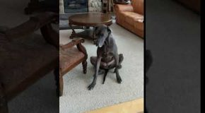 Great Dane Uses Both Legs to Scratch