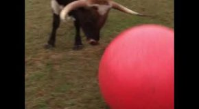 Bull Devastated After He Pops is Favorite Red Ball