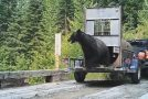 Very Aggressive Bear Release