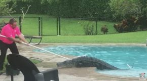 Gator Pulled from Florida Pool
