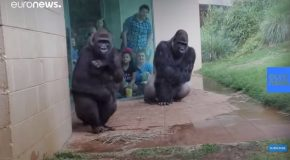 Feeling Miserable In The Rain? These Gorillas Too
