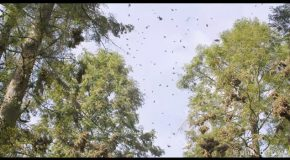The Magnificent Sound of Several Million Monarch Butterflies Taking Off All at Once