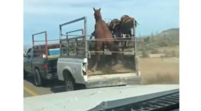 Frightened Horse Falls Out of Moving Trailer
