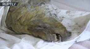 Severed Head of a 40,000yo Giant Pleistocene Wolf Discovered in Russia