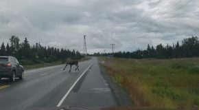Near Miss With a Moose On Alaskan Highway