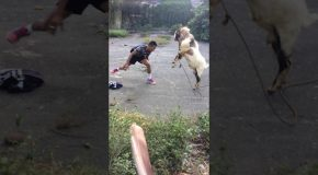 Man and Goat Go Head To Head