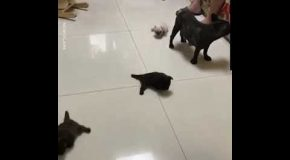 Little French Bulldog Pups Try Their Very Best to Walk On the Slippery Floor