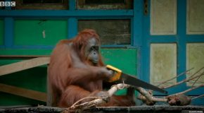Orangutan Saws Branches for Fun – Spy In The Wild